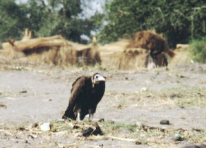 Kevin Carter | Vulture Watching Starving Child
